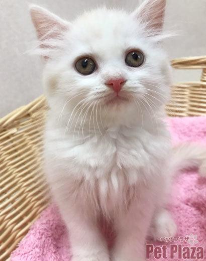 スコティッシュ 白猫 大阪 泉南 阪南 泉佐野 貝塚 和歌山 りんくう