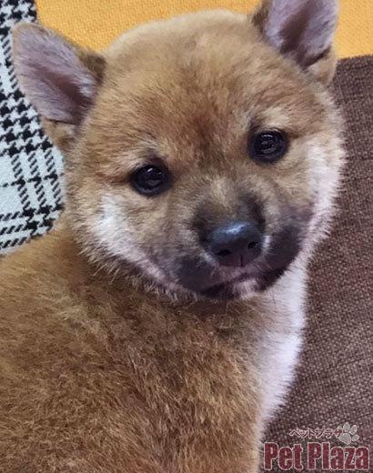 柴犬 赤柴 大阪 泉南 阪南 泉佐野 りんくう 貝塚 和歌山