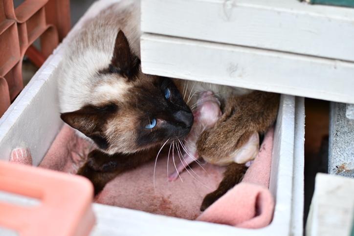 シャムにゃん子猫4月13日1