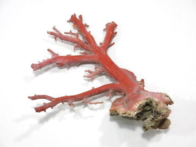 天然珊瑚 原木 サンゴ コーラル