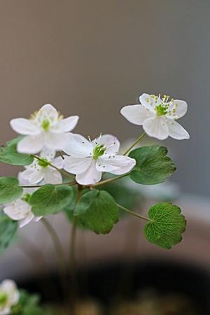 梅花カラマツa
