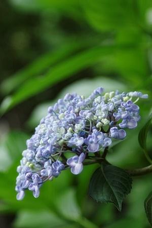 オタフク紫陽花