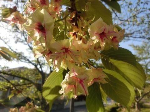 2018-04-21 桜 002 (480x360)