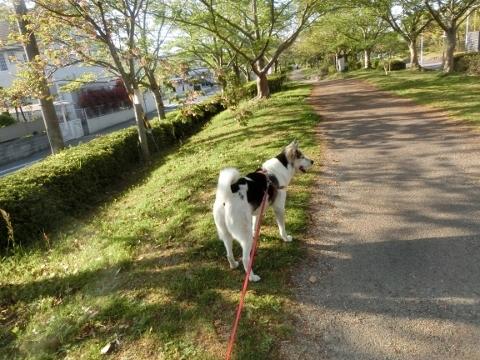 2018-04-21 桜 003 (480x360)
