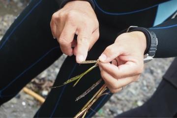 H30061606アマモ花枝採集会