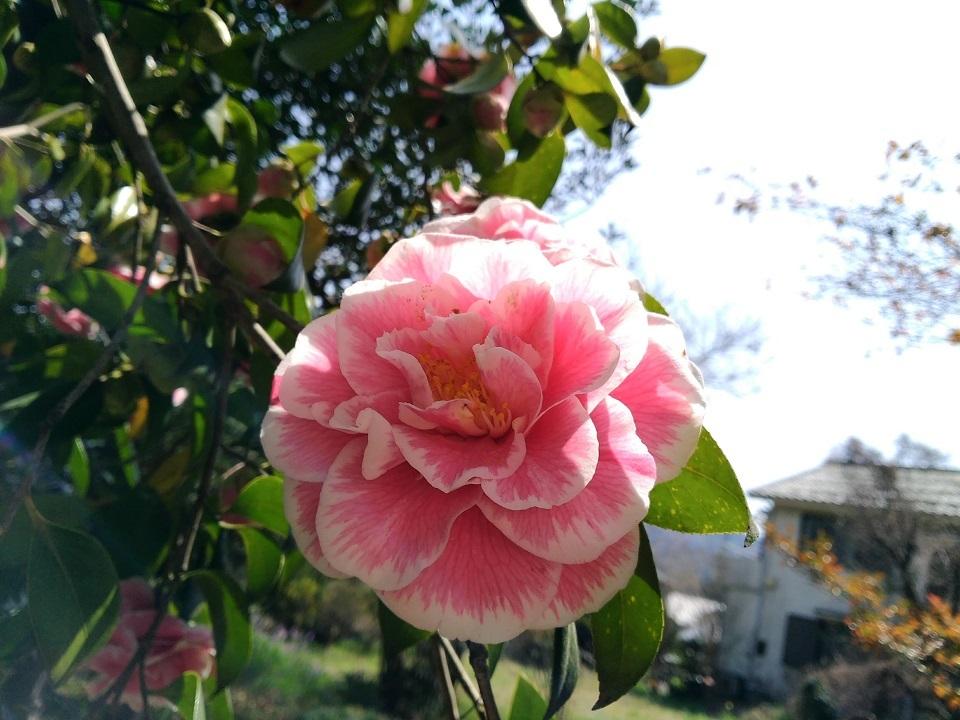 椿ピンク絞り