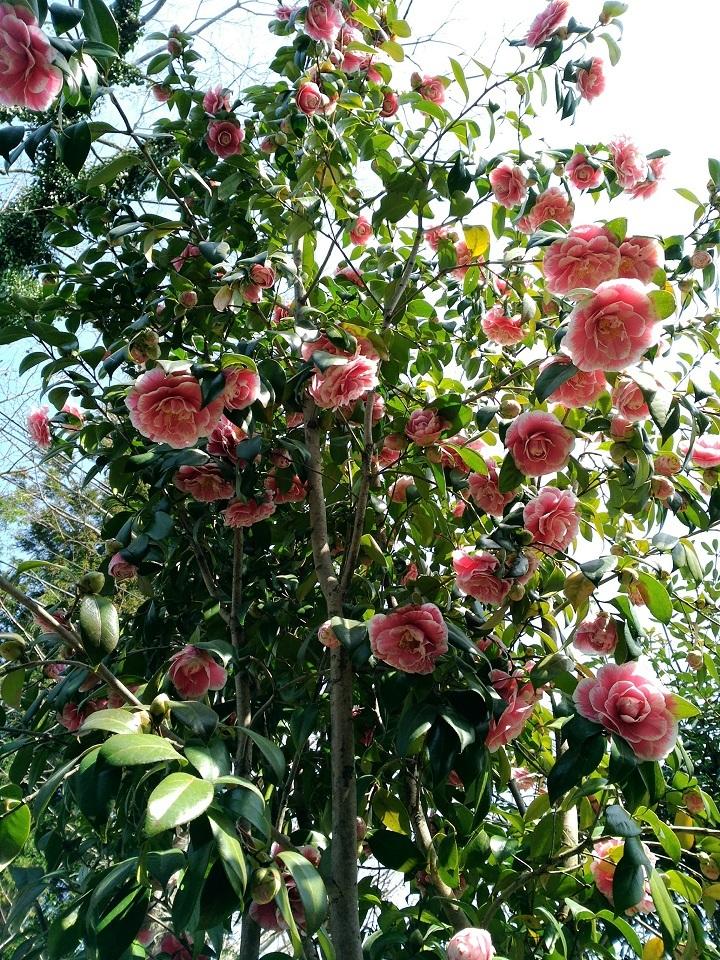 椿ピンク絞り2