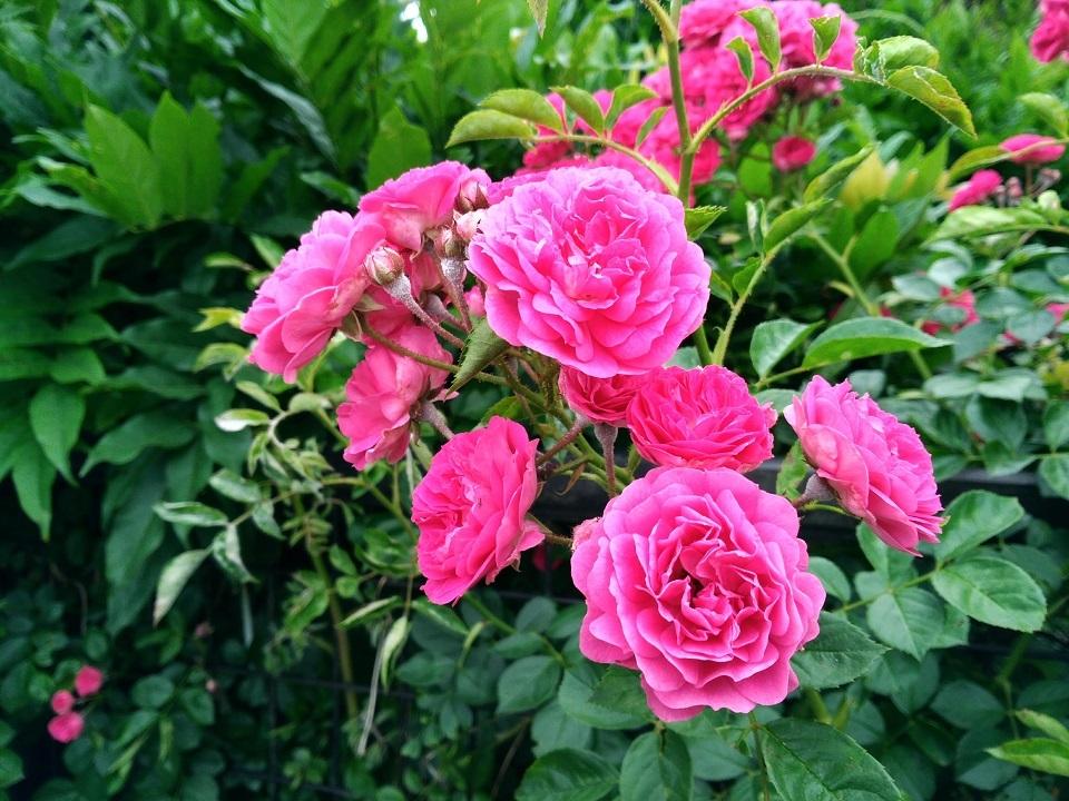 つるバラ1
