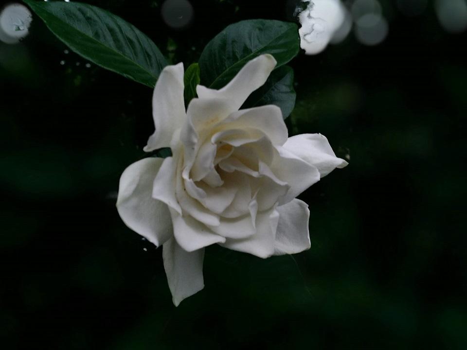 くちなしの花