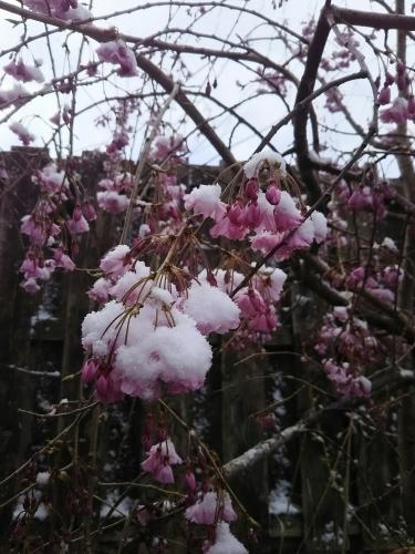 雪の積もった桜