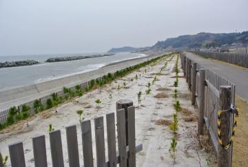 防潮堤に植林