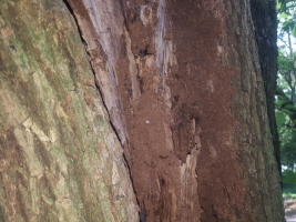 楠木のイエシロアリ