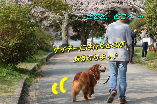 明石公園桜2018 045