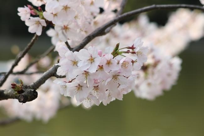 明石公園桜2018 064