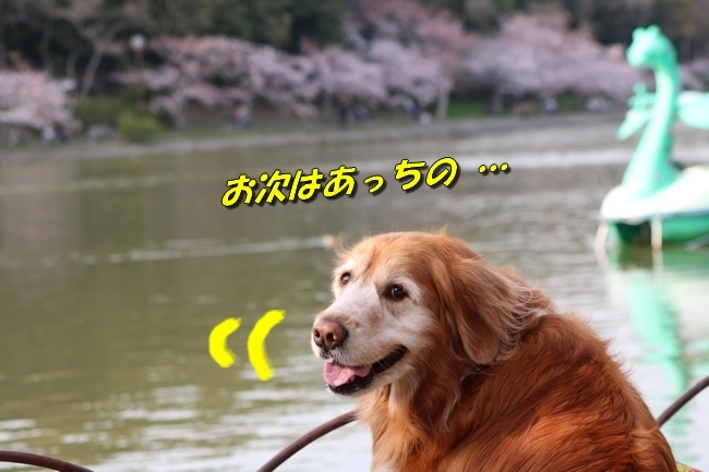 明石公園桜2018 069