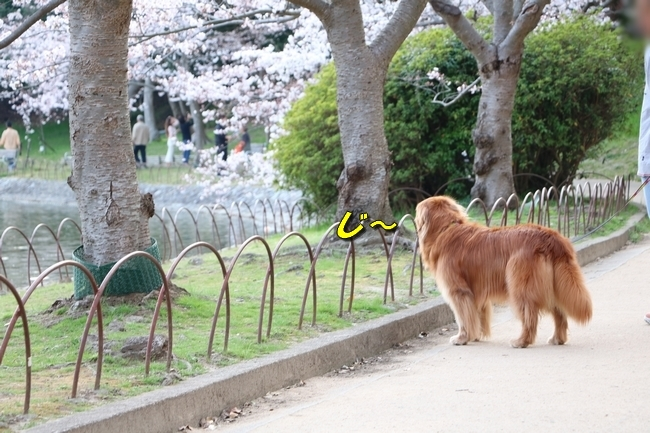 明石公園桜2018 209