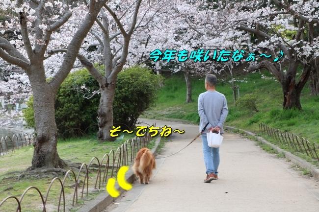 明石公園桜2018 210