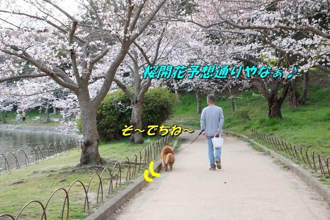 明石公園桜2018 211
