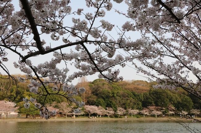 明石公園桜2018 227