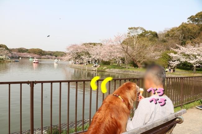 明石公園桜2018 029