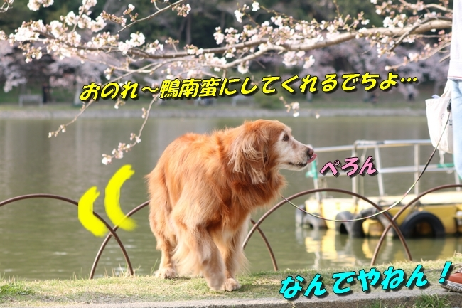 明石公園桜2018 090