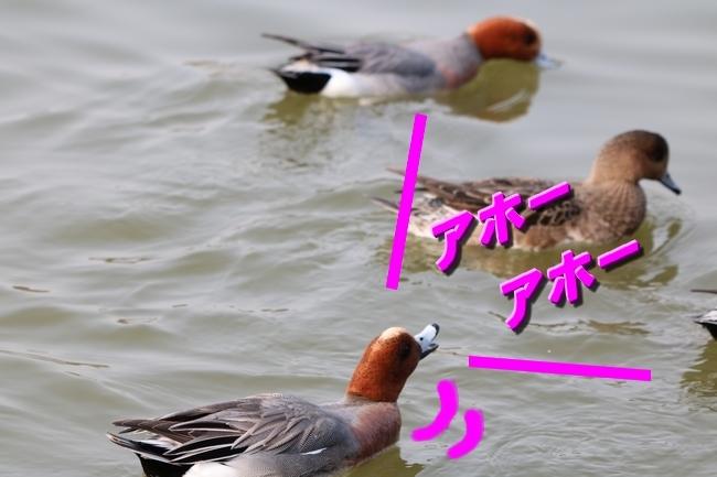 明石公園桜2018 099