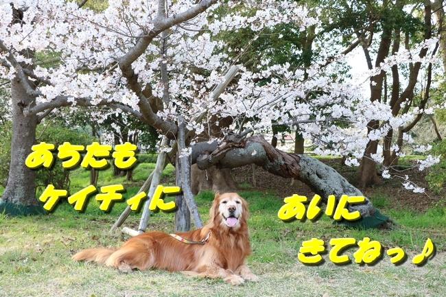 明石公園桜2018 190