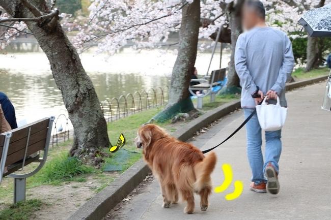 明石公園桜2018 262