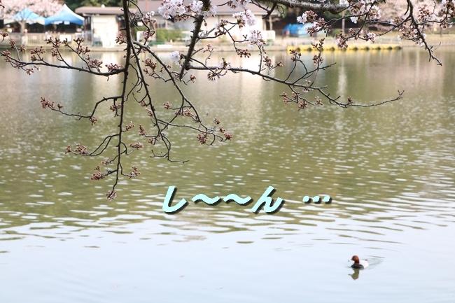 明石公園桜2018 264