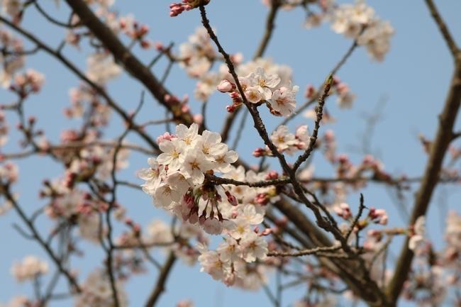 明石公園桜2018 106