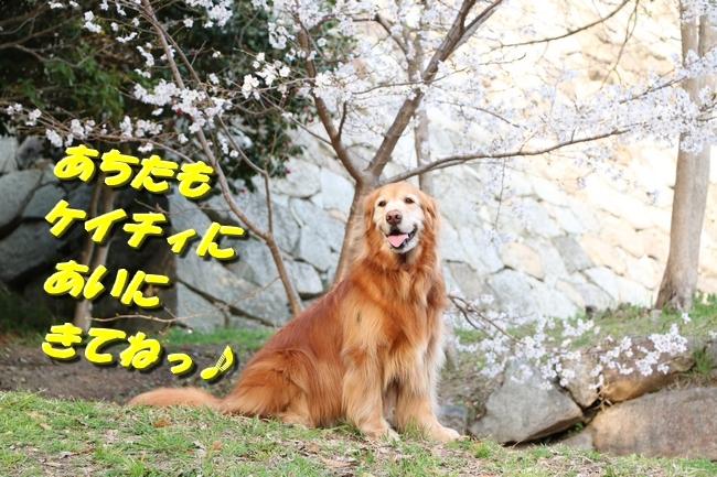 明石公園桜2018 308