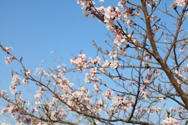 防災公園桜の広場 016