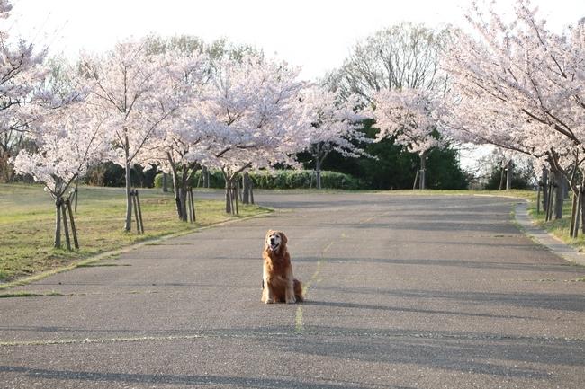 防災公園桜の広場 104