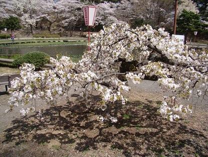 背の低い桜