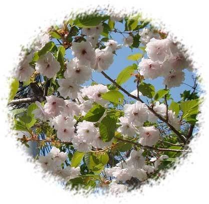 八重桜切抜