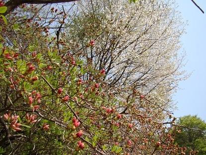 山つつじと山桜