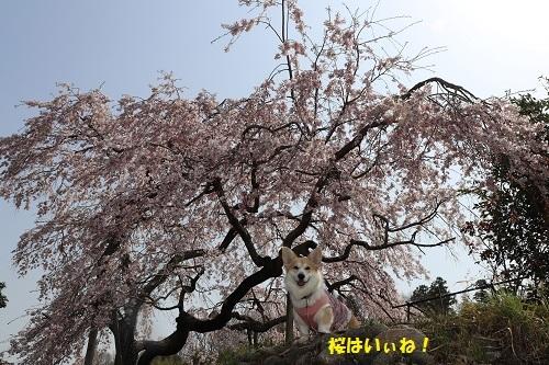 桜はいぃね