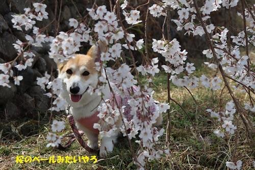 桜のベール