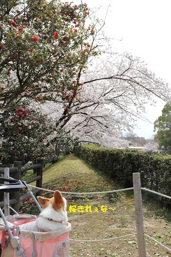 桜きれぇなー