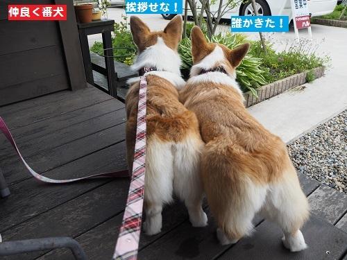 仲良く番犬