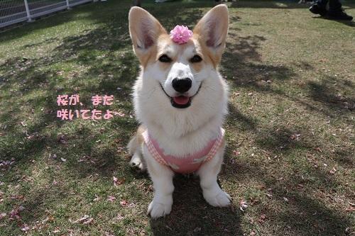 桜さいてたよ