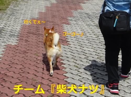 5チーム柴犬ナツ