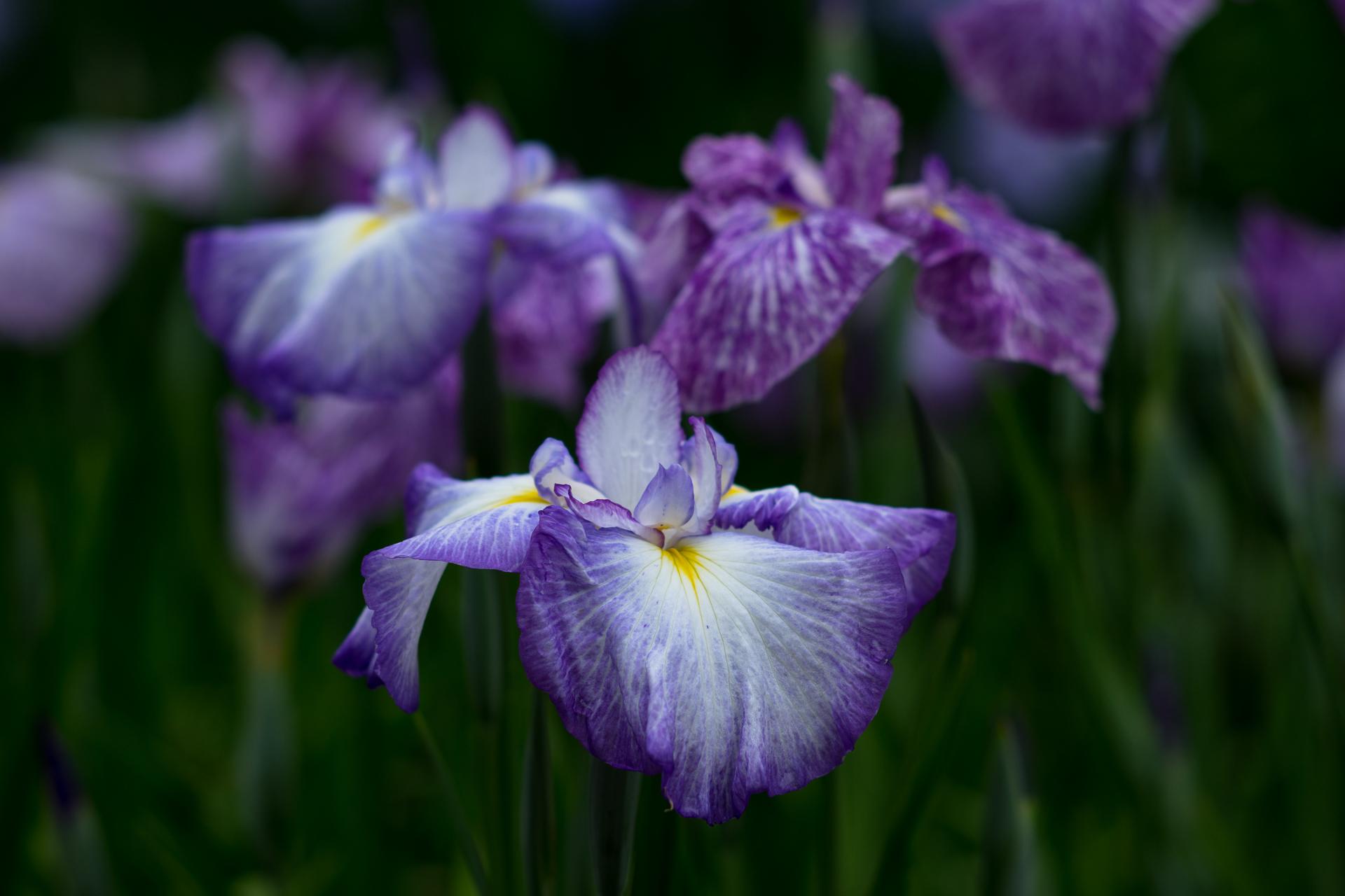 2018青紫系の花菖蒲R-1