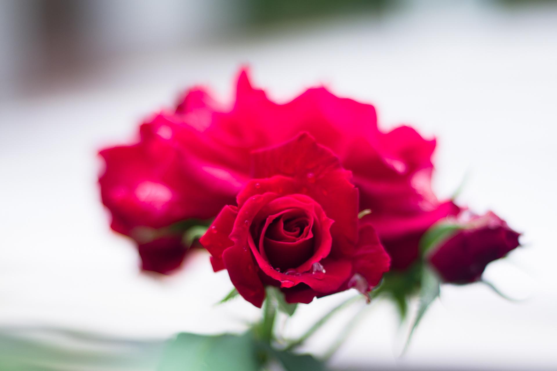2018雨上がりの薔薇