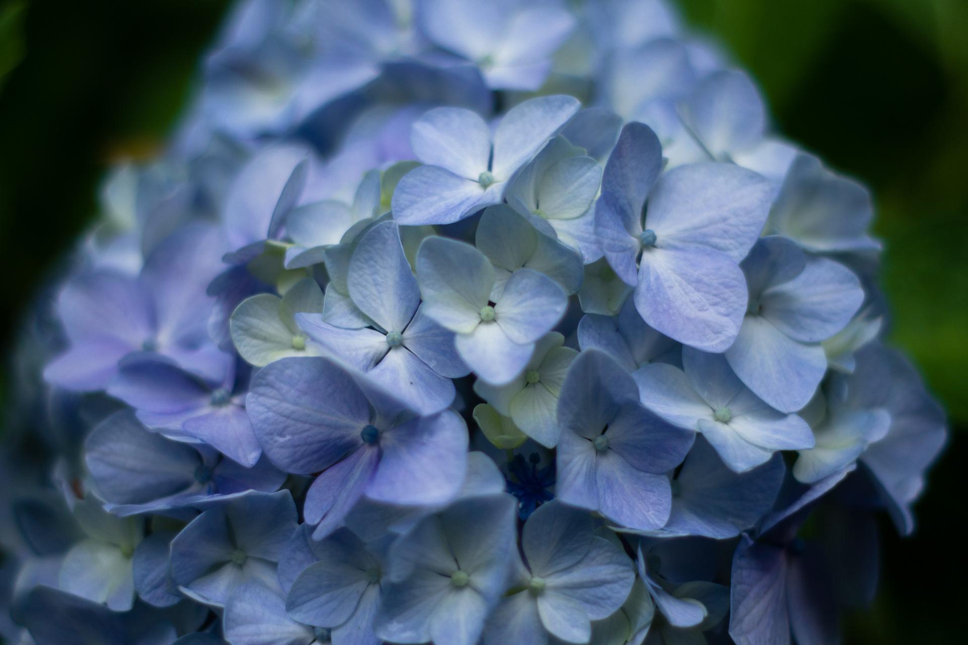 2018日本庭園・紫陽花3-1