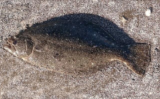 ヒラメ 48cm