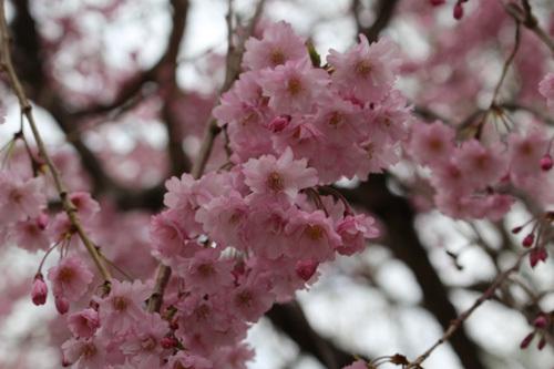 20180407 清川経由金櫻神社分岐点の桜 (3)