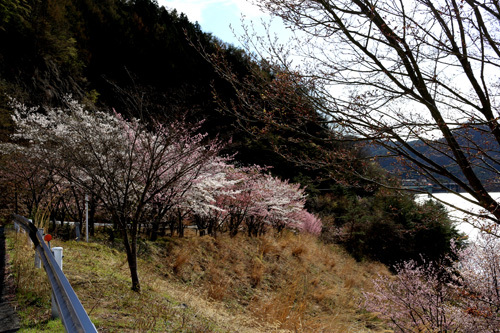 20180407荒川ダムの桜 (9)