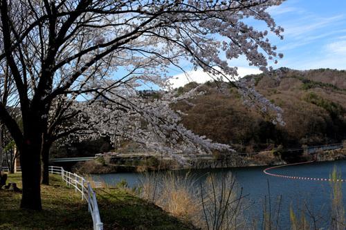 20180407荒川ダムの桜 (10)