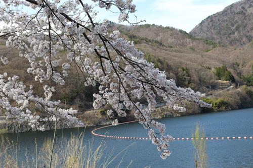 20180407荒川ダムの桜 (11)